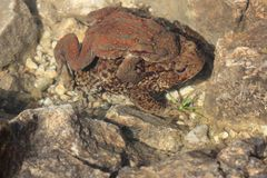 互相的两只青蛙伙伴 库存照片