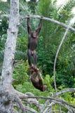 互相的两只黑猩猩戏剧 刚果共和国 Conkouati-Douli储备 免版税库存图片