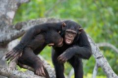 互相的两只黑猩猩戏剧 刚果共和国 Conkouati-Douli储备 免版税图库摄影