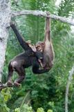 互相的两只黑猩猩戏剧 刚果共和国 Conkouati-Douli储备 免版税库存照片