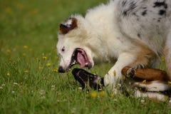 互相的狗戏剧 幼小澳大利亚牧羊犬 的aurore 快活的忙乱小狗 积极的狗 狗训练  小狗e 免版税图库摄影