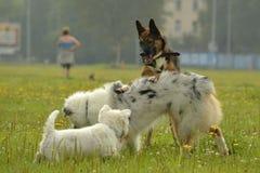 互相的狗戏剧 幼小澳大利亚牧羊犬 的aurore 快活的忙乱小狗 积极的狗 狗训练  小狗e 免版税库存照片