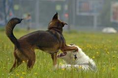 互相的狗戏剧 幼小澳大利亚牧羊犬 的aurore 快活的忙乱小狗 积极的狗 狗训练  小狗e 图库摄影