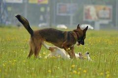 互相的狗戏剧 幼小澳大利亚牧羊犬 的aurore 快活的忙乱小狗 积极的狗 狗训练  小狗e 库存照片