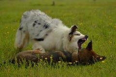 互相的狗戏剧 幼小澳大利亚牧羊犬 的aurore 快活的忙乱小狗 积极的狗 狗训练  小狗e 免版税库存图片