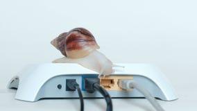 互联网延迟或数据传送的概念 一大蜗牛拉丁Achatina骨顶属的身体的特写镜头,上升到whi 影视素材