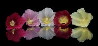 五个多彩多姿的冬葵 免版税库存照片