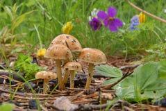 五个洋蘑菇 库存照片