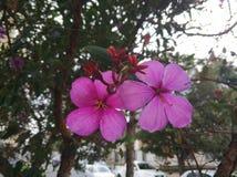 五个瓣紫罗兰色花  图库摄影
