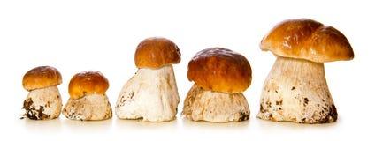 五个porcini蘑菇 库存照片