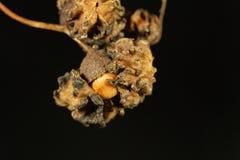 五倍子蜂Andricus quercuscalicis的Knopper胆汁 库存照片