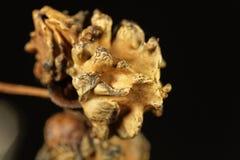 五倍子蜂Andricus quercuscalicis的Knopper胆汁 免版税库存图片