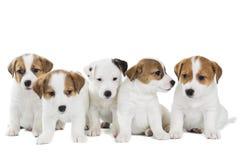 五只小狗杰克罗素狗 库存照片