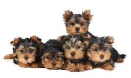 五只小狗 免版税库存图片