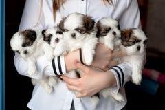 五只小狗shitzu在交配动物者的手上 图库摄影