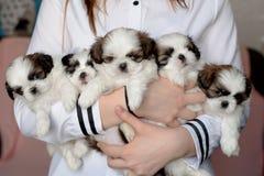五只小狗shitzu在交配动物者的手上 免版税库存照片