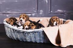 五只小猎犬小狗在篮子坐 免版税库存图片