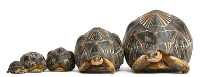 五只放热的草龟,Astrochelys radiata 库存照片