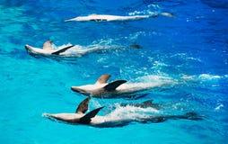 五只海豚 免版税库存照片