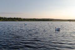 五只白色天鹅在日落的一个湖 免版税图库摄影