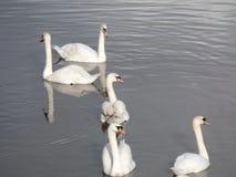 五只白色天鹅在河 免版税库存图片
