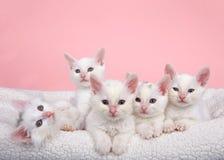 五只白色小猫在床上 免版税图库摄影