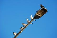 五只白色鸟,一只黑鸟在杆被隔绝的蓝色背景栖息 免版税库存照片