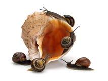 五只蜗牛和海海扇壳 库存图片