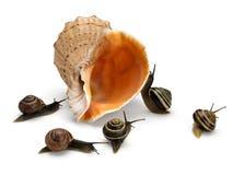 五只蜗牛和海海扇壳 免版税图库摄影