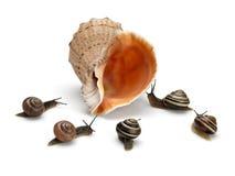 五只蜗牛和海海扇壳 免版税库存图片