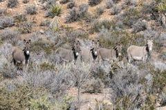 五只野生沙漠驮货驴子 库存照片
