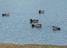 五只野鸭哺养 免版税图库摄影