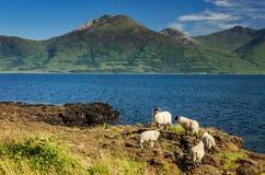 五只绵羊 库存图片