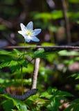 五叶银莲花白色森林野花- 02 库存图片