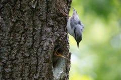 五子雀刚孵出的雏请求哺养 成人鸟守卫他们的巢并且喂养小鸡 库存图片
