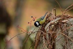 五子雀北美山雀吃在饲料机架的种子 库存照片