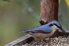 五子雀北美山雀吃在饲料机架的种子 免版税库存照片