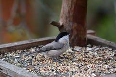 五子雀北美山雀吃在饲料机架的种子 免版税库存图片
