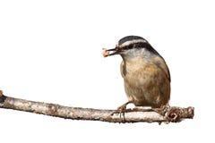 五子雀和板油 免版税图库摄影