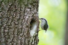 五子雀沿树干的鸟,刚孵出的雏移动等待哺养在橡木的凹陷 库存图片