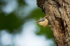 五子雀类europaea 他遍及欧洲居住 库存图片