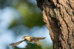 五子雀类europaea 他遍及欧洲居住 免版税库存照片
