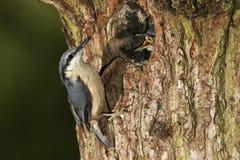 五子雀,五子雀类europaea, 免版税库存图片