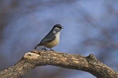 五子雀类europaea在森林里 免版税库存图片