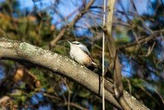 五子雀类europaea,五子雀 免版税库存照片
