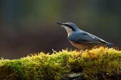 五子雀类europaea 免版税图库摄影