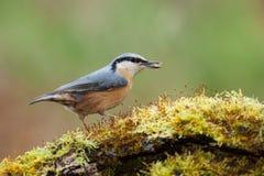 五子雀类europaea 免版税库存图片