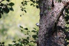 五子雀类europaea 免版税库存照片