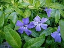 五有绿色backgrou的有花瓣蓝色荔枝螺花开花 库存图片