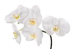 五朵大白色被隔绝的兰花花 库存图片